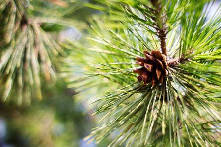pine cone: pine cone