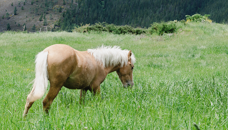 Young cream-colored horse grazing in the meadow.