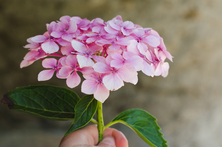 Hydrangea flower in hand with defocused natural background.