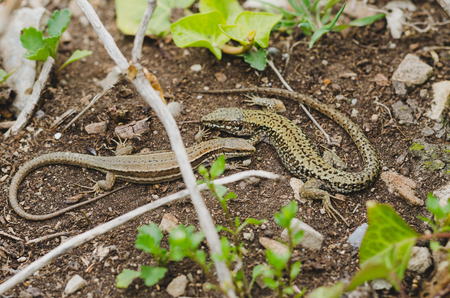 Two lizards playing in natural space.