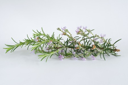 Rosemary with flowers on white background.