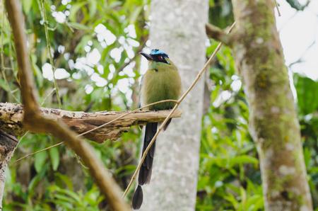 Momotus momota bird perched in a tree. Stock Photo
