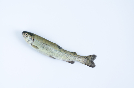 Aerial shot of a trout on white background.