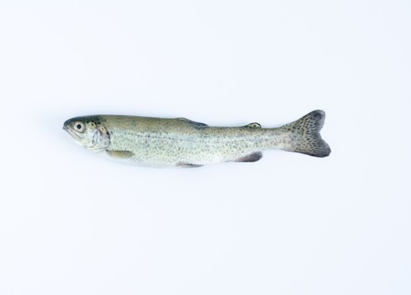 Aerial shot of a rainbow trout on white background.