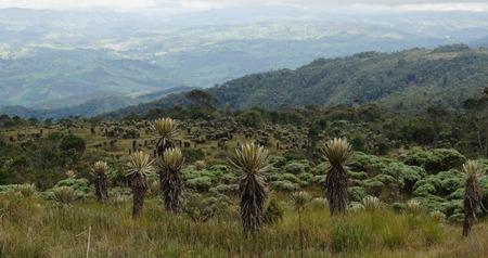 Landscape of the Colombian paramo. Espeletia plants. Frailejon