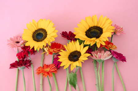 Variety of gerbera flowers and sunflower on pink background. Imagens