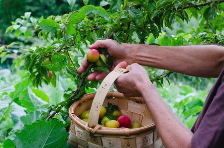 Man hands gathering plums. Plum tree Archivio Fotografico