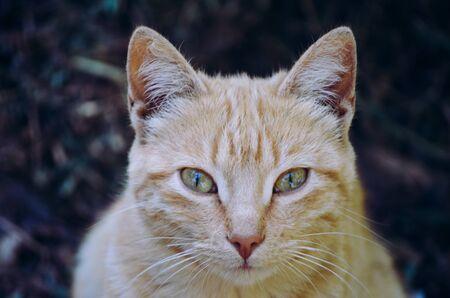 Tabby cat portrait looking straight ahead.