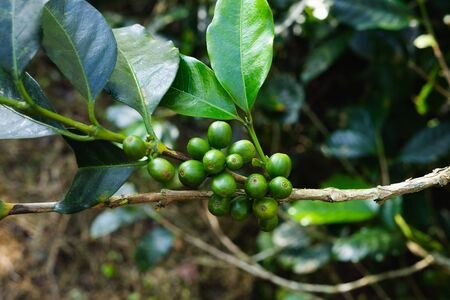 Coffee plant with green coffee beans before harvest. Reklamní fotografie