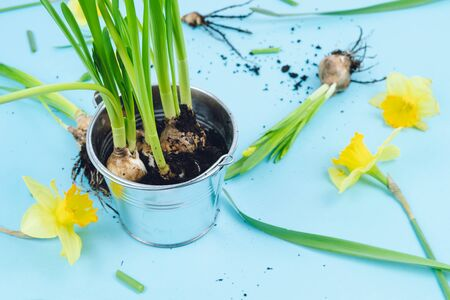 Spring bulbs on a blue background ready for transplanting. Gardening concept. Daffodils. 版權商用圖片
