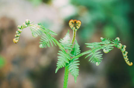 Fern. Macro photograph of a fern shoot in spring. Concept of wild flora. 스톡 콘텐츠