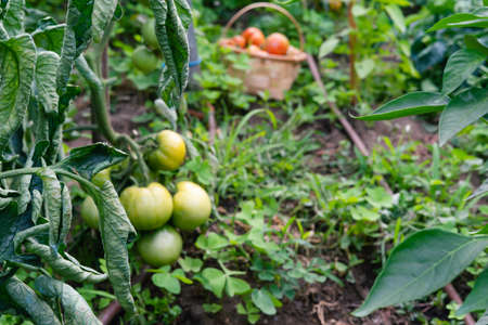 Branch of green tomatoes in the orchard with basket of ripe tomatoes in the background. Concept of vegetables. 免版税图像