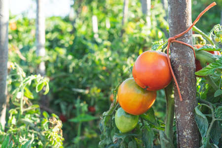 Tomato plants with ripe tomatoes Agriculture. Stockfoto