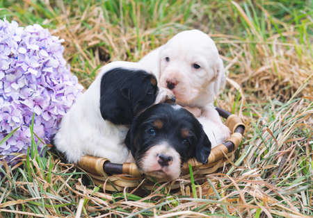 Three small English setter puppies in a basket on grass with a hydrangea flower. Copy space.