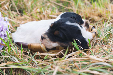 Two English setter puppies sleeping in a wooden basket on grass. Copy space. Imagens