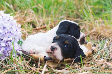 Two cute English setter puppies looking at camera in wooden basket on lawn. Copy space.