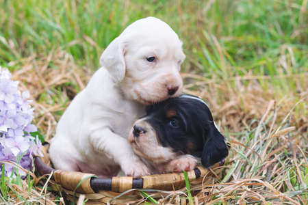 Two cute English setter puppies in a wooden basket with grass bottom. Copy space. Banque d'images