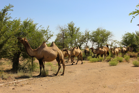 oman: Camels in the sun in the summer in green scrubs