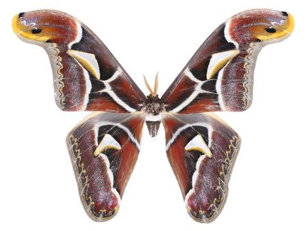 Archaeoattacus edwardsii holly dictyoplocajapnicamoore