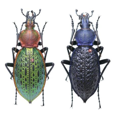 coleoptera: Coptolabrus lafossei Carabus pull step a