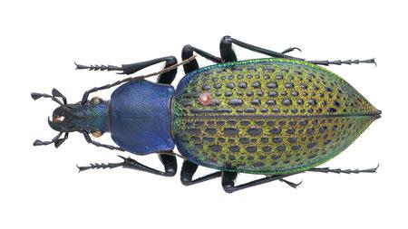 coleoptera: Coptolabrus formosus Carabus Li step a Stock Photo