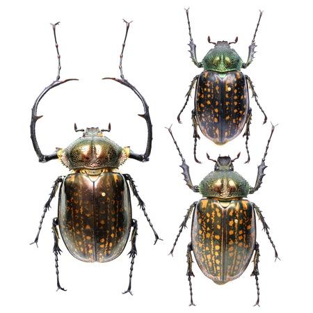 coleoptera: Cheirotonus cheirotonus Stock Photo