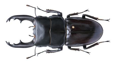 coleoptera: Dorcus deadalion lucanid