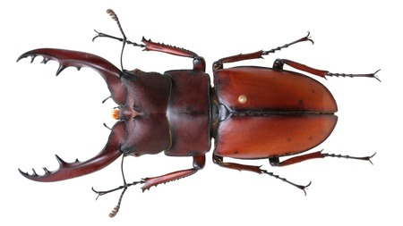 coleoptera: Prosopocoilus astacoides brown before a shovel