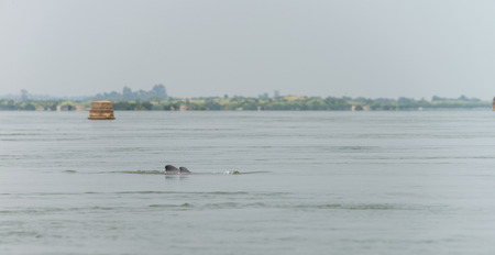 pink dolphin: Dolphin Fresh water Kratie Province Cambodia Mar 2015