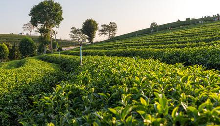 hugh: Tea plantation Chiangrai, Thailand Stock Photo