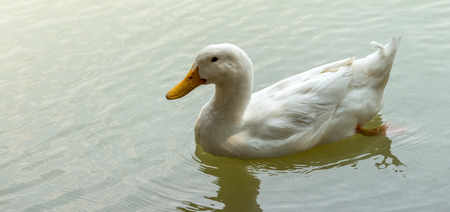 animal themes: One White Duck in the water