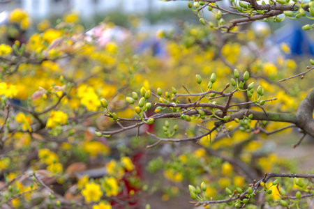 Yellow apricot blossom Vietnamese Lunar New Year holiday in north