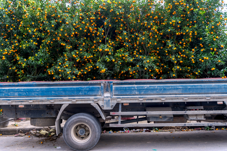 Kumquat tree's for decoration during Lunar New Year in Vietnam.