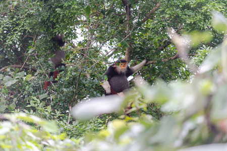 Red-shanked Douc- Langur on Son Tra peninsula in Da Nang City, Vietnam Stock Photo