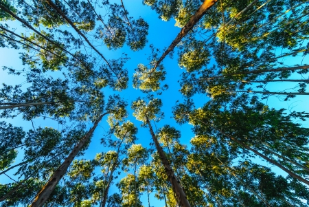 the eucalyptus forests photo