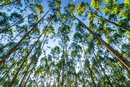 convergence: the eucalyptus forests