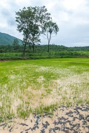 Seedlings of rice growing  By getting enough water  photo