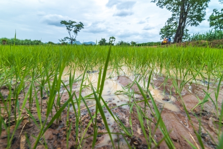 Seedlings of rice growing  By getting enough water  Stock Photo - 14321473