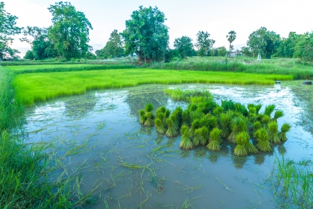 Seedlings of rice growing  By getting enough water Stock Photo - 14321497