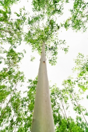 eucalyptus trees: This picture taken in the eucalyptus forests are very high up in the box to the line of sight, and the eucalyptus is a strange angle