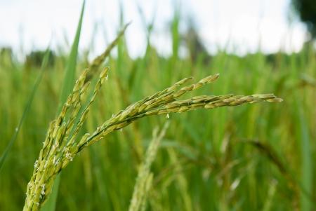 paddy rice field Stock Photo - 17359724