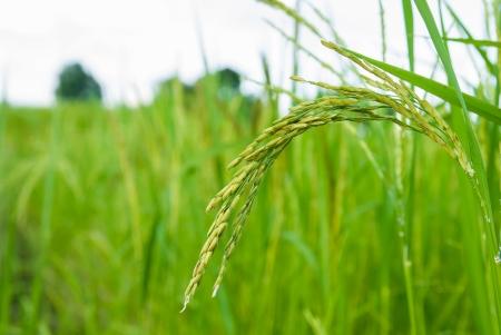 paddy rice field  Stock Photo - 17359761