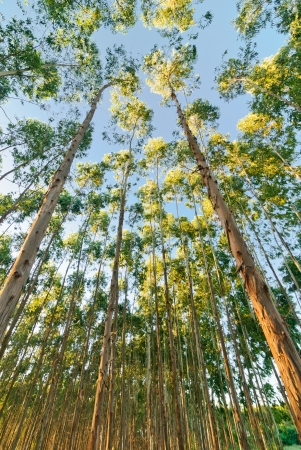 filming point of view: The Eucalyptus Forest Grove with the sunset in Thailand Stock Photo