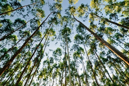 the bigger picture: The Eucalyptus Forest Grove with the sunset in Thailand Stock Photo