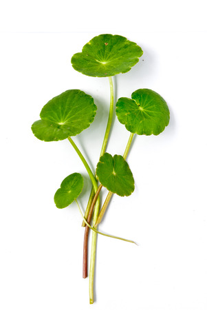 Asiatic Pennywort (Centella asiatica (Linn.) Urban.) Stock Photo