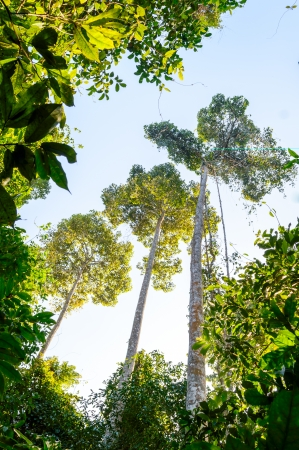 Large and tall trees in the forest at Khao Yai National Park i, Thailand photo