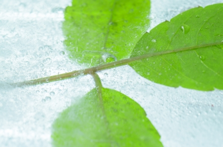 Leaf frozen in ice  photo