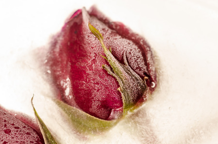 Frozen red rose in white frost photo