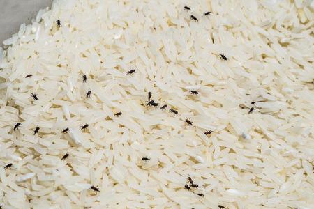 curculionidae: Weevil destroys rice