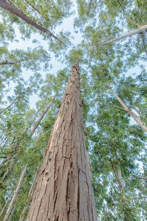 Eucalyptus tree against sky photo